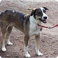 German Shepherd Dog/Collie Mix Dog for adoption in Winnsboro, South Carolina - Red