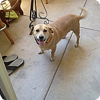 Dachshund Mix Dog for adoption in Gilbert, Arizona - Parker