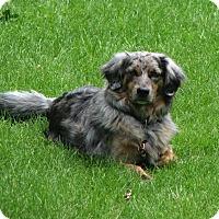 Adopt A Pet :: Aussie - Elk River, MN