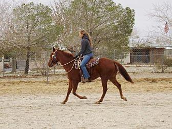Paint/Pinto/Quarterhorse Mix for adoption in Phelan, California - Rowdy