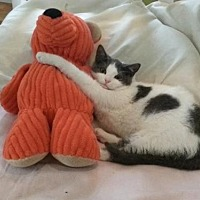 Russian Blue Cat for adoption in Nesbit, Mississippi - Babie