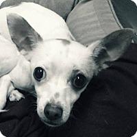 Adopt A Pet :: Chena - Mesa, AZ