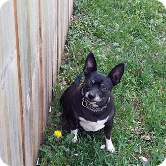 Chihuahua Mix Dog for adoption in Indianapolis, Indiana - Lexi