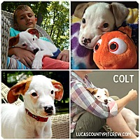 Adopt A Pet :: Colt James - Sylvania, OH
