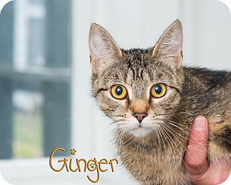 Domestic Shorthair Cat for adoption in Somerset, Pennsylvania - Ginger