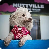 Adopt A Pet :: Snowcone - San Francisco, CA