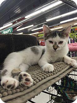 Domestic Shorthair Kitten for adoption in Rochester, Minnesota - Maurice