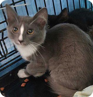 Domestic Longhair Kitten for adoption in Dallas, Texas - Monroe