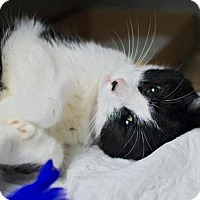 Adopt A Pet :: PATCHES - Brooklyn, NY