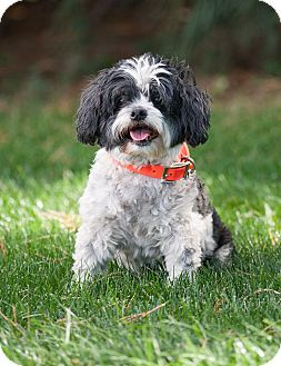 Shih Tzu Mix Dog for adoption in Washoe Valley, Nevada - Sammy