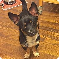 Chihuahua Mix Puppy for adoption in Alpharetta, Georgia - Ramo