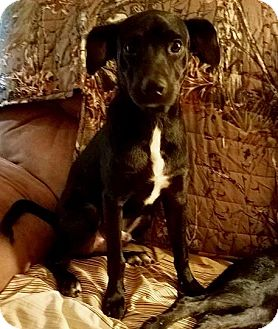 Labrador Retriever Mix Puppy for adoption in Houston, Texas - Jake