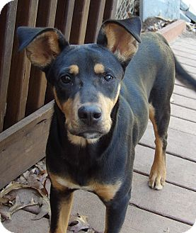 Manchester Terrier/Shepherd (Unknown Type) Mix Puppy for adoption in Burlington, Vermont - Copper(28 lb) GREAT Family Pet