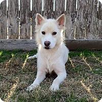 Adopt A Pet :: Souffle - Sugar Land, TX