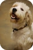 Petit Basset Griffon Vendeen Dog for adoption in Hershey, Pennsylvania - Rags