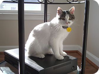 Turkish Van Kitten for adoption in Reston, Virginia - Amanda