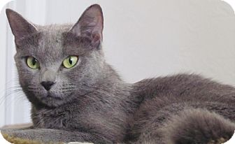 Domestic Shorthair Cat for adoption in Seminole, Florida - Carys