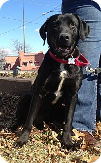 Labrador Retriever Mix Dog for adoption in Richmond, Virginia - Bryce