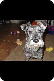 Schnauzer (Miniature) Dog for adoption in Houston, Texas - Lizzie
