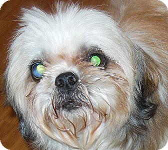 Shih Tzu Dog for adoption in MINNEAPOLIS, Kansas - Spanky