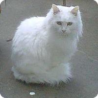 Adopt A Pet :: Duchess - Davis, CA