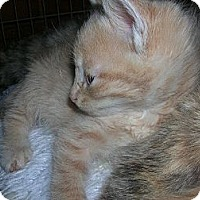 Adopt A Pet :: Cream Tabby - Yakima, WA