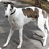 Adopt A Pet :: Dru - Santa Rosa, CA