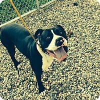 Adopt A Pet :: Boe - South Windsor, CT