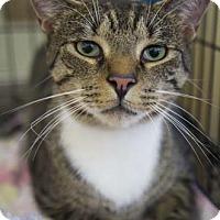Adopt A Pet :: Fuzzy - Merrifield, VA