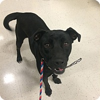 Adopt A Pet :: Presley in CT - Manchester, CT