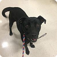 Adopt A Pet :: Presley in CT - East Hartford, CT