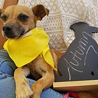 Chihuahua Mix Dog for adoption in Apple Valley, California - Autumn