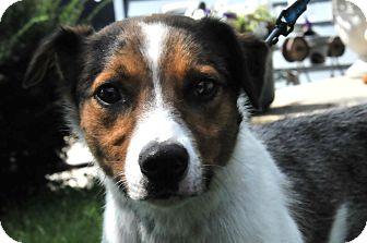 Australian Shepherd/Jack Russell Terrier Mix Dog for adoption in St. Charles, Illinois - Bullet