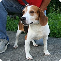 Beagle Mix Dog for adoption in Waldorf, Maryland - Prince Dino