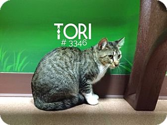 Domestic Shorthair Cat for adoption in Alvin, Texas - Tori