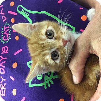 Domestic Shorthair Kitten for adoption in Spring, Texas - Comfort