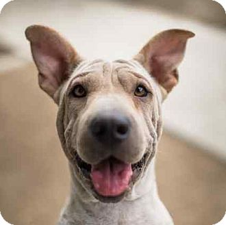 Shar Pei Mix Dog for adoption in Los Angeles, California - ELLIE