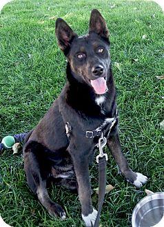 Australian Shepherd/Basenji Mix Dog for adoption in Redding, California - Kora beauty
