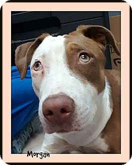 Pit Bull Terrier Mix Dog for adoption in Memphis, Tennessee - Morgan-Foster Home Needed