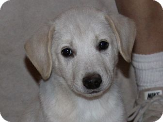 Shepherd (Unknown Type)/Retriever (Unknown Type) Mix Puppy for adoption in kennebunkport, Maine - Olaf - PENDING - in Maine