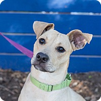 Black Mouth Cur Mix Dog for adoption in Houston, Texas - Lulu