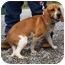 Photo 1 - Beagle Mix Dog for adoption in Somerset, Pennsylvania - Copper