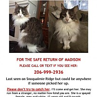 Adopt A Pet :: Lost Cat Madison - courtesy listing - Issaquah, WA