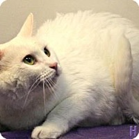 Domestic Shorthair Cat for adoption in Sebastian, Florida - Casper