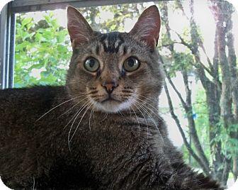 Domestic Shorthair Cat for adoption in Rochester, New York - Waldo