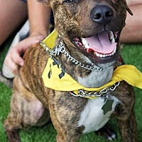 American Pit Bull Terrier/Standard Schnauzer Mix Dog for adoption in Binghamton, New York - Wilson