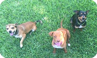 Miniature Pinscher/Terrier (Unknown Type, Small) Mix Dog for adoption in Spring, Texas - BART