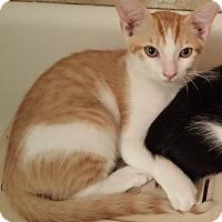 Domestic Shorthair Kitten for adoption in Ft. Lauderdale, Florida - Denali