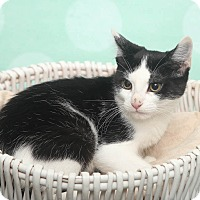 Domestic Shorthair Kitten for adoption in Chippewa Falls, Wisconsin - Brella