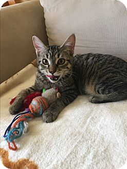 Domestic Shorthair Kitten for adoption in Los Angeles, California - Savanna